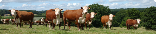 Herefordshire cattle on the farm